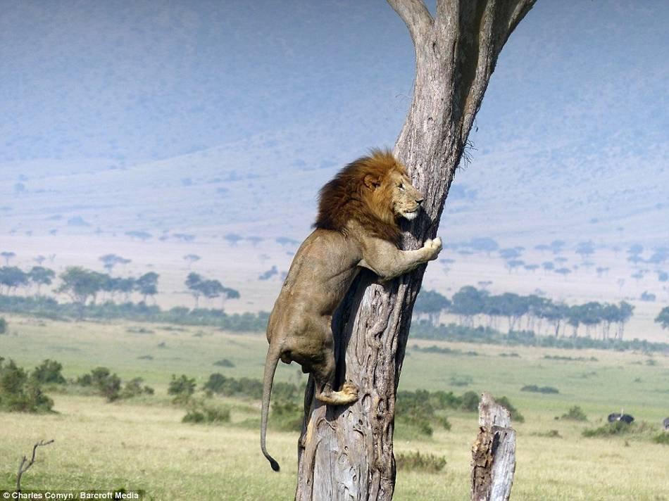 狮子王电影情节再现 狮子被野牛群追赶 爬到树上躲避兵人在线